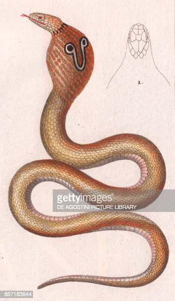 1 Indian cobra or Spectacled cobra colour copper engraving retouched in watercolour 9x15 cm from Dizionario delle scienze naturali compilato da vari...