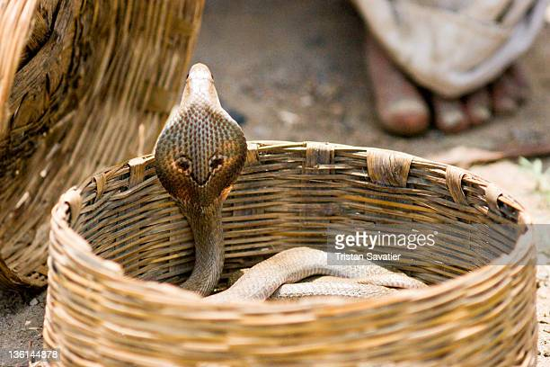Indian Cobra snake in Snake Charmer's basket