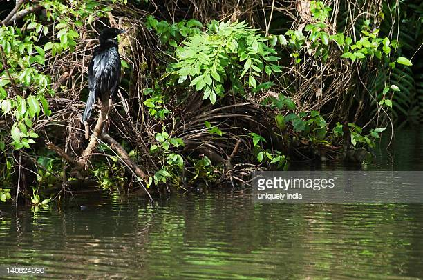 Indian cormorant (Phalacrocorax fuscicollis) perching on a plant, Tirupati, Chittoor District, Andhra Pradesh, India