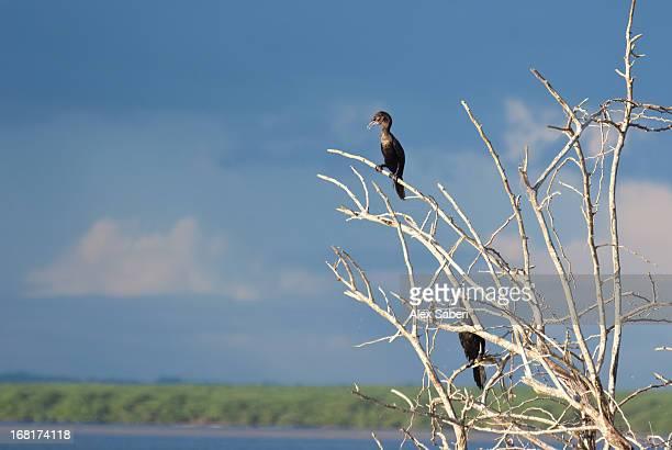 indian cormorants or indian shags, phalacrocorax fuscicollis, at sunset. - alex saberi photos et images de collection