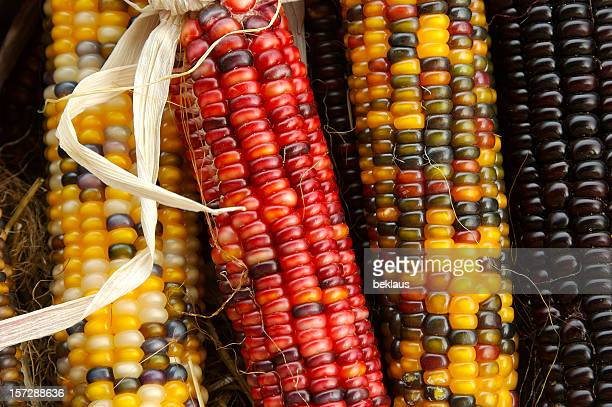indian corn cobs - indian corn stock photos and pictures