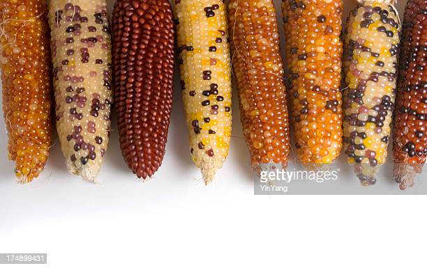 indian corn crop in autumn harvest, isolated on white background - indian corn stock photos and pictures