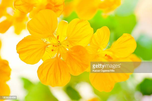 Indian Cress flowers
