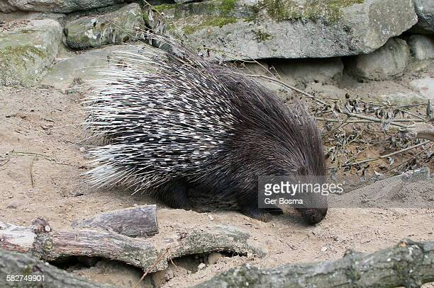 indian crested porcupine - porcupine stock photos and pictures