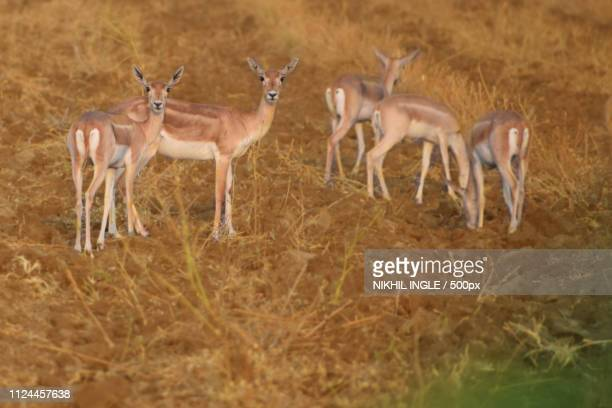 indian dears animals - springbok deer stock photos and pictures