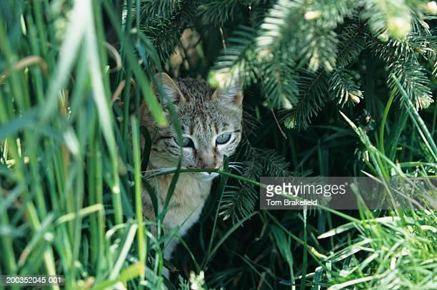 indian desert cat (felis silvestris ornata), asia - asiatische wildkatze stock-fotos und bilder