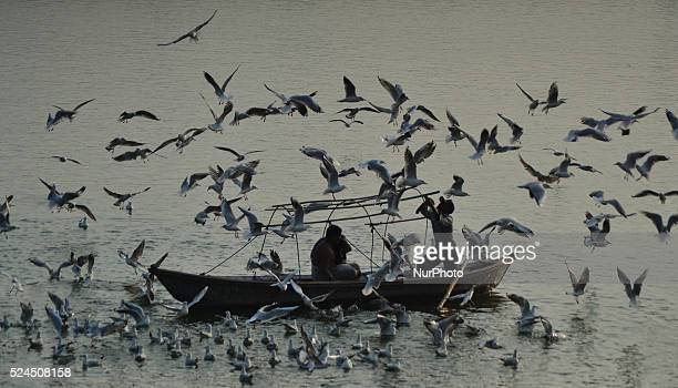 Indian devotees feed siberian birds duringaboat ride at holy sangam,in Allahabad on December 16,2015.