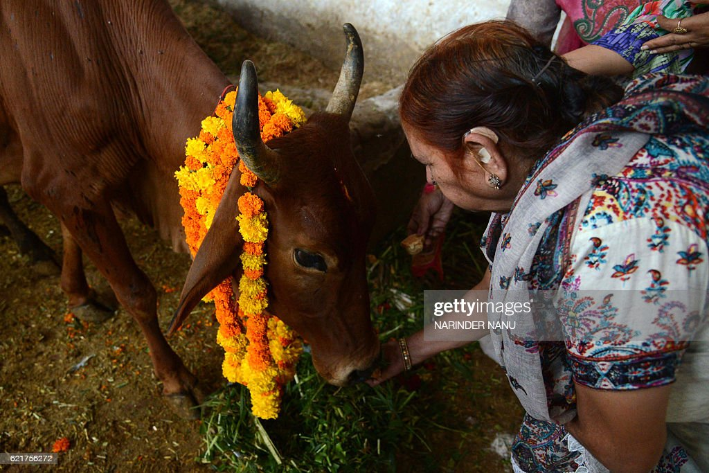 Indian devotees offer food to a cow during Gai Puja cow worship as part of the Gopal Ashtami festival in Amritsar on November 8 2016 Gopal Ashtami...