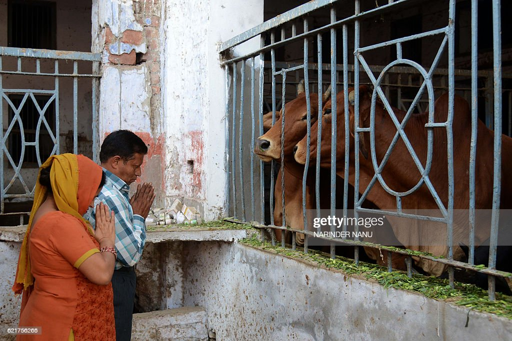 Indian devotees pray to cows during Gai Puja cow worship as part of the Gopal Ashtami festival in Amritsar on November 8 2016 Gopal Ashtami festival..