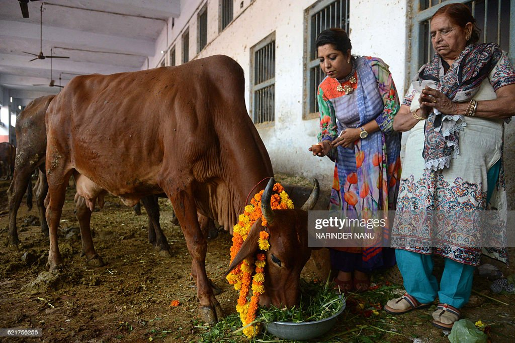 Indian devotees worship a cow during Gai Puja cow worship as part of the Gopal Ashtami festival in Amritsar on November 8 2016 Gopal Ashtami festival.