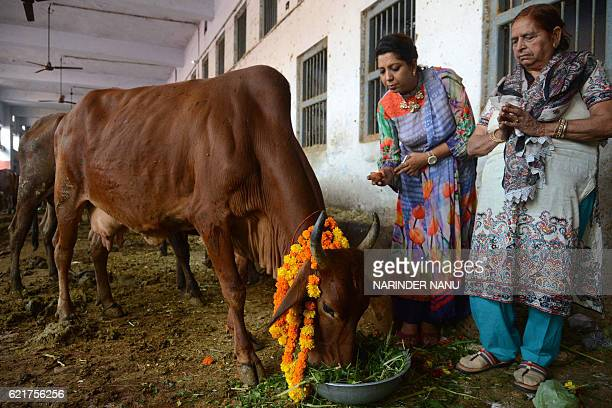 Indian devotees worship a cow during Gai Puja cow worship as part of the Gopal Ashtami festival in Amritsar on November 8 2016 Gopal Ashtami festival...