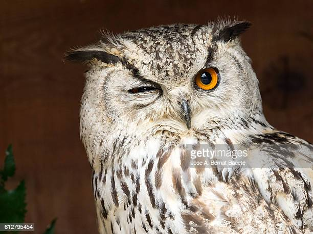 Indian eagle owl portrait (bubo bengalensis),looking at the camera with one eye closed.   Pyrenees, France.