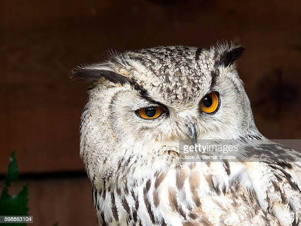 Indian eagle owl portrait (bubo bengalensis), Pyrenees, France.