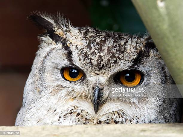 Indian eagle owl portrait,  (bubo bengalensis), Pyrenees, France.