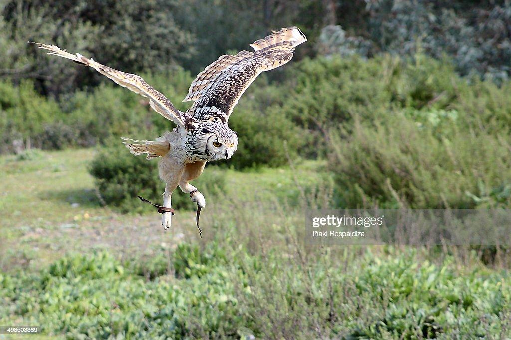Indian eagle-owl : Foto de stock