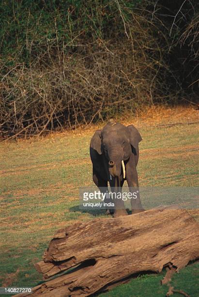 Indian elephant (Elephas maximus indicus) calf walking in a forest, Bandipur National Park, Chamarajanagar, Karnataka, India
