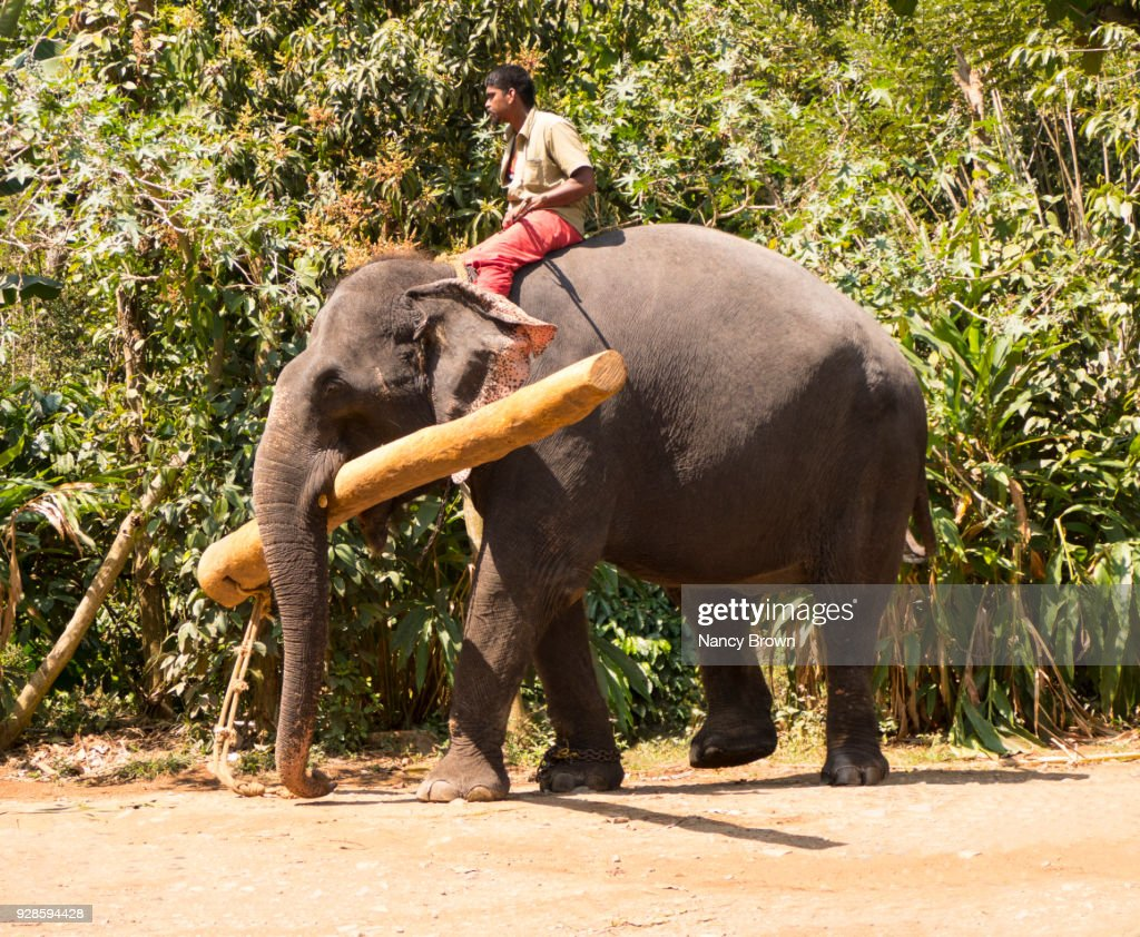 Indian Elephant Carrying A Log In The Trunk In Periyar Nat. Park In India.
