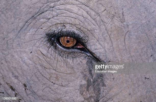 Indian Elephant close up of eye, Basndavgarh, India.
