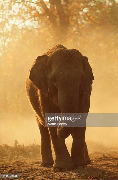 Indian Elephant (Elephas maximus indicus) Dust bathing at sunset. Kahna National Park, India