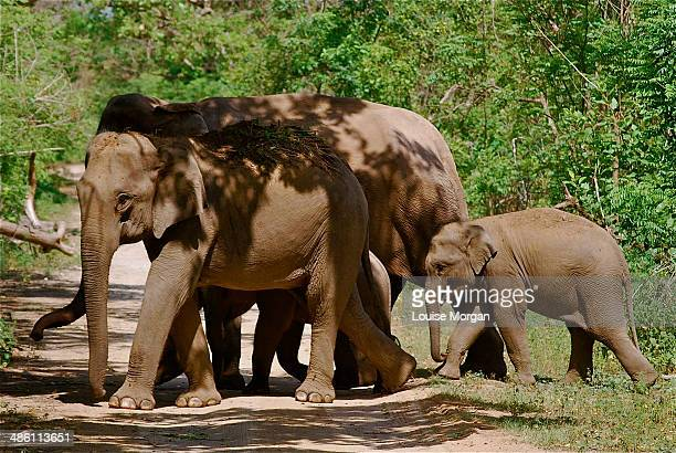 Indian elephant family