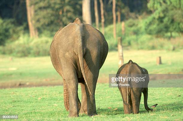 indian elephant: female/youngster  elephas maximus  rear vie w. nagarhole, india