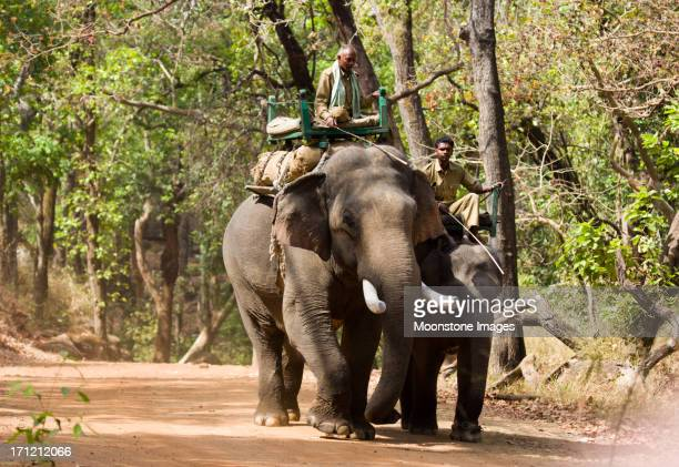 indian elephant in bandhavgarh np, india - bandhavgarh national park stock pictures, royalty-free photos & images