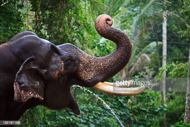 Indian elephant in the Annakotta Sanctuary with its long trunk They are dedicated to the Sri Krishna Temple on December 03 2011 in Guruvayur Kerala...
