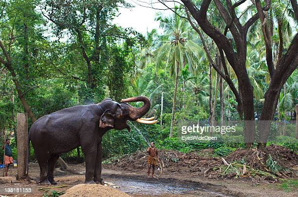 Kerala Elephants Stock Photos and Pictures | Getty Images