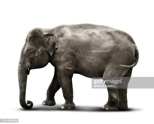 indian elephant on white background - elephant face stock photos and pictures