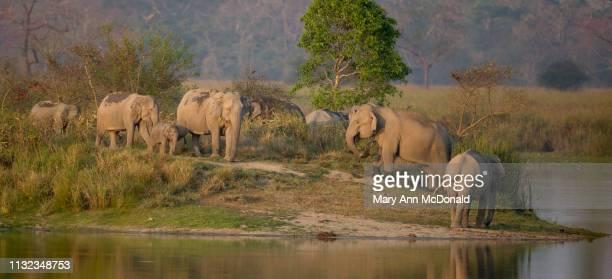 indian elephant - kaziranga national park stock pictures, royalty-free photos & images