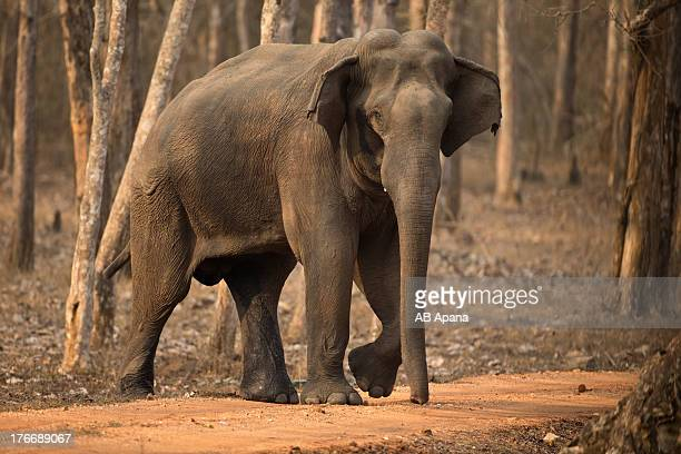 indian elephant - indian elephant stock pictures, royalty-free photos & images