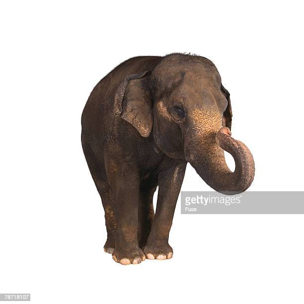 indian elephant - asian elephant stock pictures, royalty-free photos & images