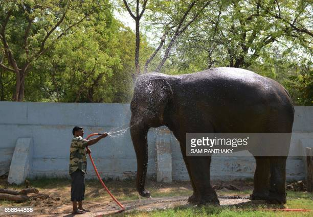 Indian elephant Roopa is bathed by caretaker Zaheer Ahmad amid rising temperatures at the Kamla Nehru Zoological Garden in Ahmedabad on March 28 2017...