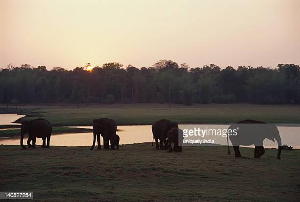 Indian elephant (Elephas maximus indicus) standing with a calf near a waterhole, Bandipur National Park, Chamarajanagar, Karnataka, India