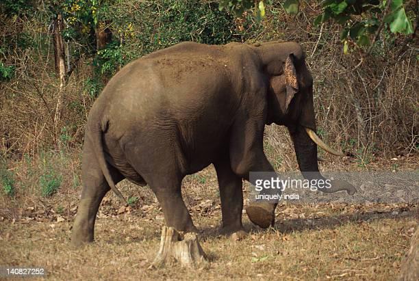 Indian elephant (Elephas maximus indicus) walking in a forest, Bandipur National Park, Chamarajanagar, Karnataka, India