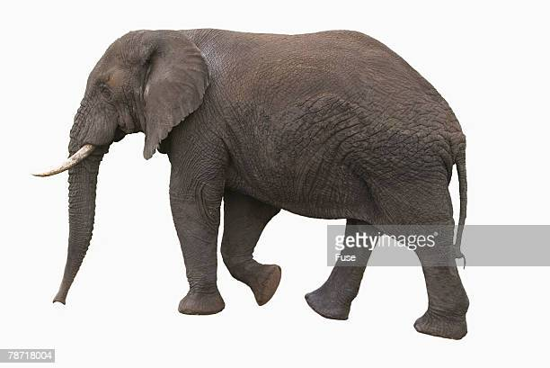 Indian Elephant Walking