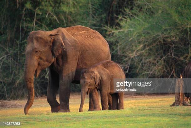 Indian elephant (Elephas maximus indicus) walking with a calf in a forest, Bandipur National Park, Chamarajanagar, Karnataka, India