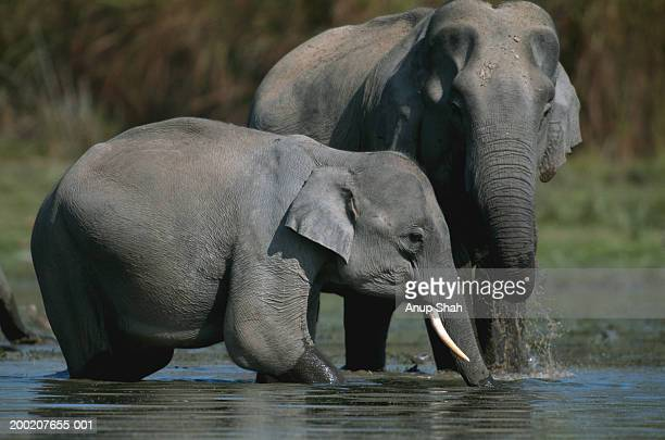 Indian elephants (Elephas maximus) in water, Kazaringan N.P, India