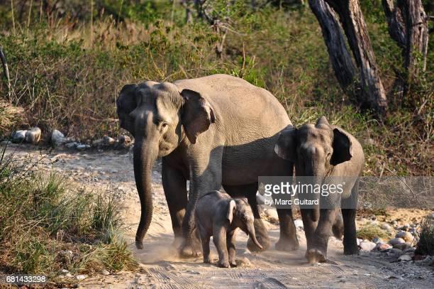 Indian Elephants (Elephas maximus indicus), Jim Corbett National Park, Uttarakhand, India