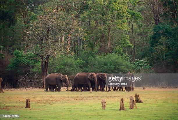 Indian elephants (Elephas maximus indicus) standing in a forest, Bandipur National Park, Chamarajanagar, Karnataka, India
