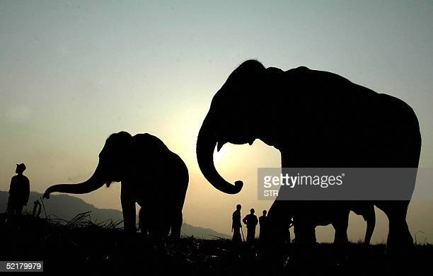 Indian elephnats and their mahouts are silhouetted against a setting sun as they relax at a camp during the inaugural day of the Kaziranga Centenary...