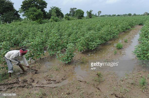 Indian farm labourer Bharatbhai removes excess water from a field of cotton at Nesda village some 50 kilometres from Ahmedabad on September 28 2013...