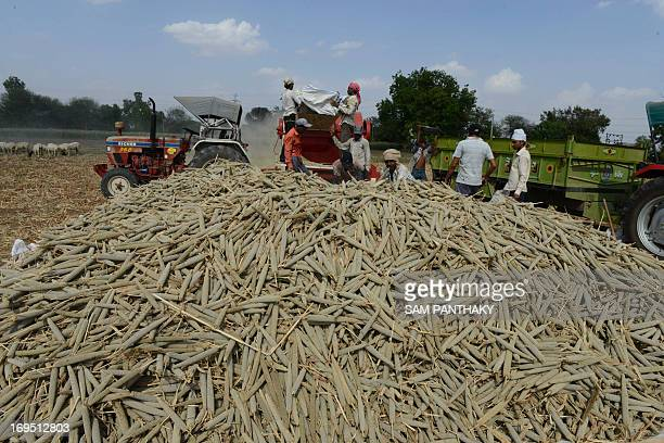 Indian farm labourers harvest millet in a field at Palaiya village of Dehgam Taluka some 50 kms from Ahmedabad on May 26 2013 Indian agriculture...
