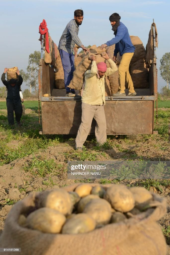 Indian farm labourers load potatoes onto a tractor trolley in the outskirts of Amritsar on February 4 2018 / AFP PHOTO / NARINDER NANU