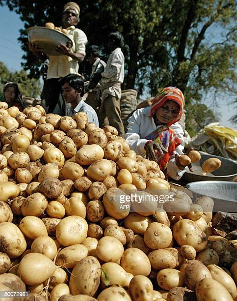 Indian farm labourers pack fresh potatoes in a field at Dehgam, some 30 kms. From Ahmedabad on March 1 where a 30 percent increas in production is...