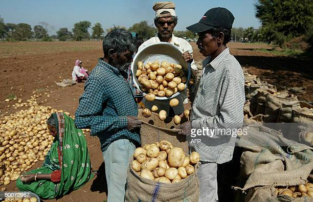 Indian farm labourers pack fresh potatoes in a field at Dehgam, some 30 kms. From Ahmedabad on March 1 where a 30 percent increase in production is...