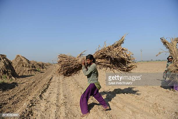 Indian farm labourers stack hay for cattle in a field near Medha village in Kadi Taluka some 35kms from Ahmedabad on November 13 2016 / AFP / SAM...