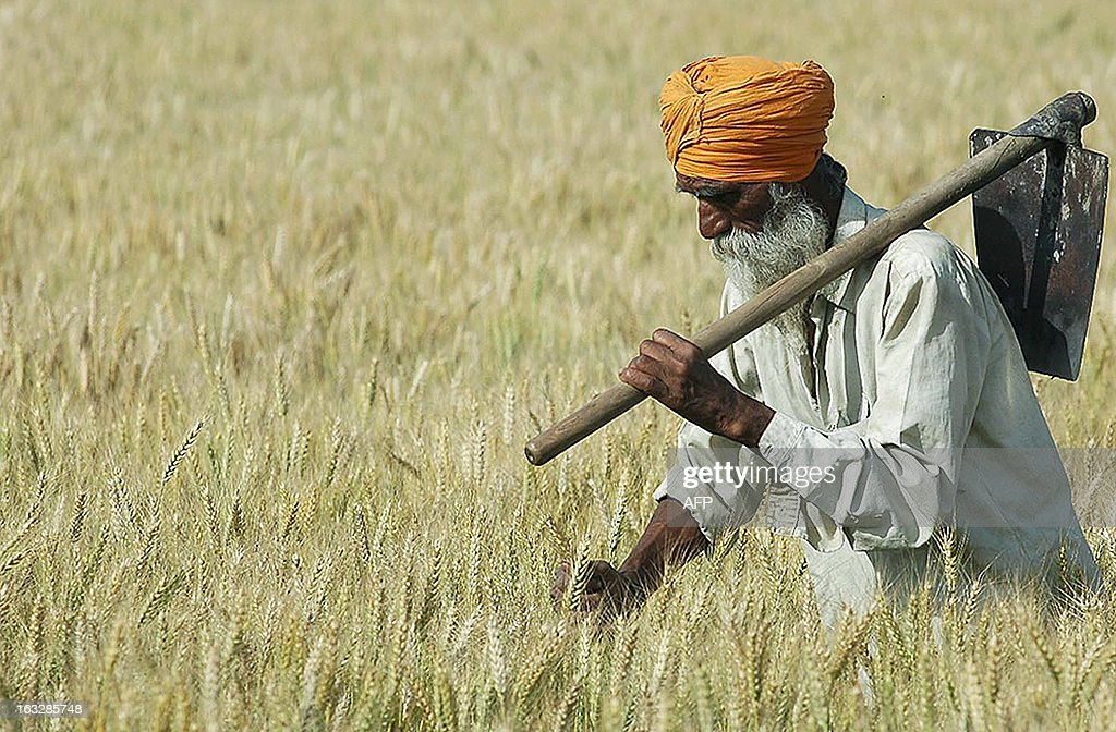Indian farmer Bhajan Singh holds a shovel as he examines his crop of wheat in a field on the outskirts of Amritsar 05 April 2007 Across northern...