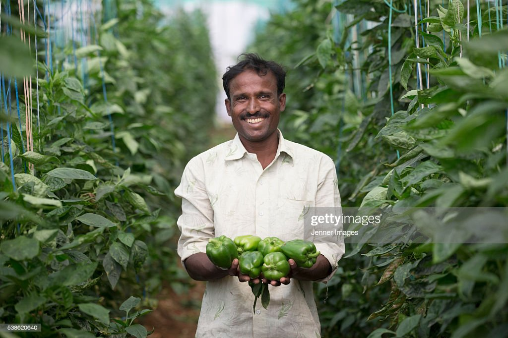 Indian Farmer holding freshly picked Capsicum's. : Stock Photo