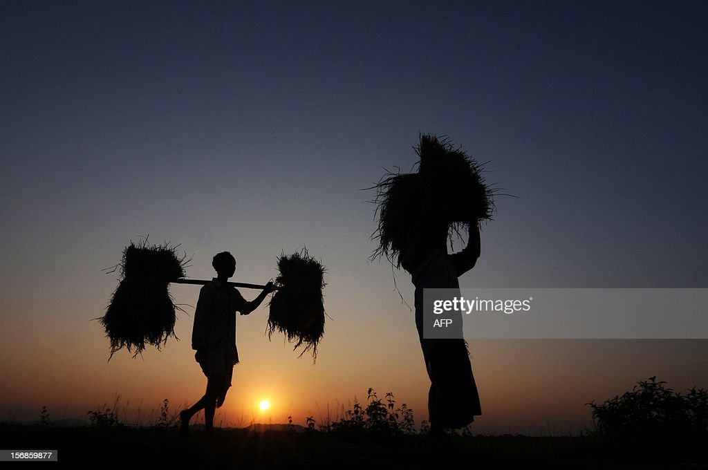 Indian farmer Lala Rabha (L), 37, and his wife carry rice harvest at Daranggiri village, some 100km west of Guwahati on November 23, 2012. The United Nations Food and Agriculture Organisation(FAO) has revised upwards India's rice production to 100 million tonnes (MT) in the 2012-13 crop year on the back of revival of rains in August and September. AFP PHOTO/ Biju Boro